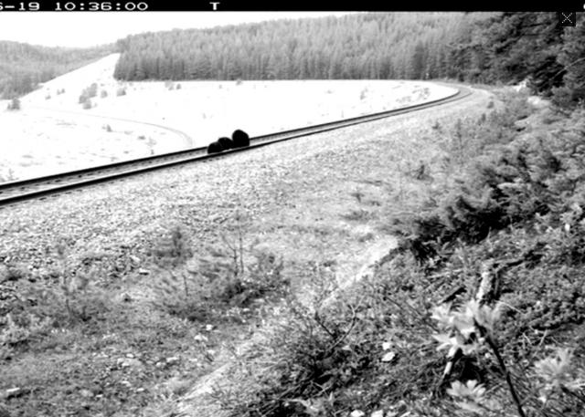Bear 71 – Train