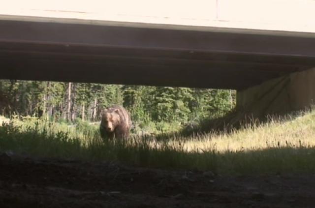 Bear 71 – underpass